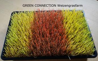 Weizengras Dinkelgras Gerstengras Anzuchtschale Keimsaat Samen