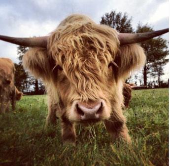 veau Highland Cattle gros plan, élevage biologique ferme de la Millanchère