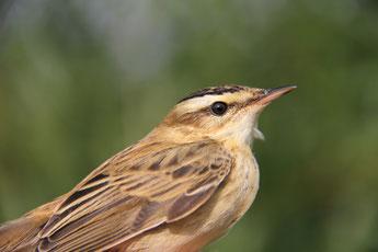 (c) Dave Lutgen Sedge Warbler (Acrocephalus schoenobaenus