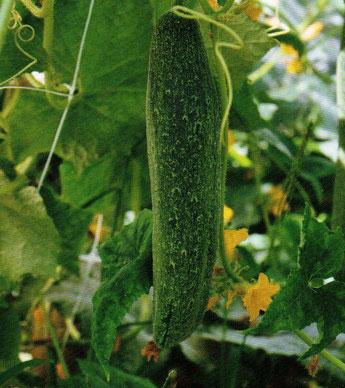 Bildquelle: Das Lexikon der alten Gemüsesorten
