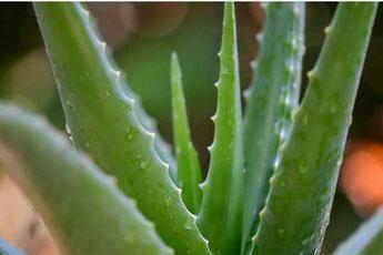 Aloe Vera Naturkosmetik mit Pharmos Natur und Gesichtsbehandlung, SURYANI Niederrohrdorf