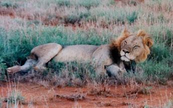 Krafttier-Meditation - Ermutigende Botschaft des Löwen