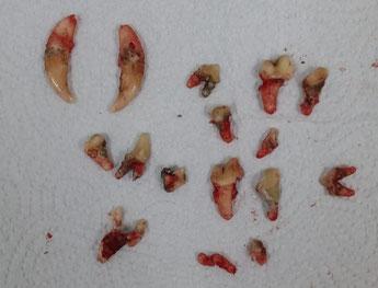 Zähne von Senior Atos - ein Negativbeispiel
