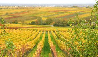 Die Trauben sind geerntet, was bleibt ist die Herbstfärbung.