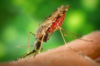 La femmina della zanzara anofele