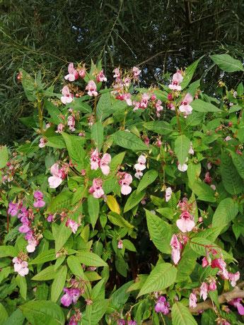 Pflanze mit rosa Blüten