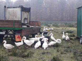Bio-Gänse Futter Weide Weidegans Gans Wasser Kopf eintauchen Mobilstall