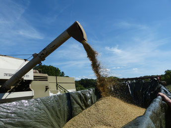 Gerste-Ernte mit dem Mähdrescher auf dem Ökohof Fläming. Das Öko-Getreide wird auf einen Anhänger geladen. Der Acker wurde ökologisch und biologisch bewirtschaftet.