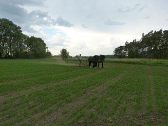 Unsere Kaltblut-Pferde Elfi und Rubinia ziehen den Striegel/ Egge über das Hafer-Feld. Auf dem Acker ist das Getreide schon gut aufgewachsen. So bekämpfen wir das Unkraut.