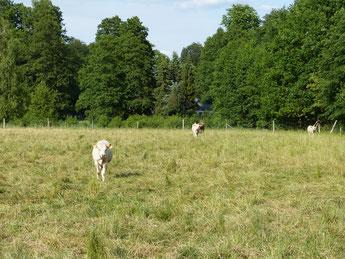 Mutterkuhhaltung auf dem Ökohof Fläming, Bio-Rinderhaltung, Rinder im Ökolandbau, auf der Öko-Weide