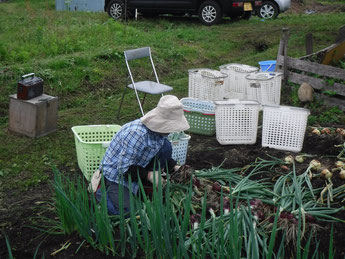 せっせと玉ねぎ収穫に向けて頑張っております!