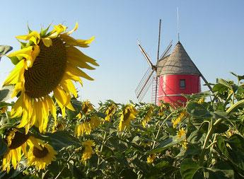 Moulin rouge de Nailloux à six ailes au milieu d'un champs de Tournesols - gites des Camparros