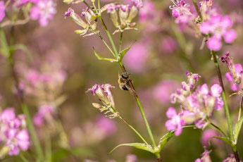 Biene klebt an leimigem, dunklem Stängelbereich der Pechnelke