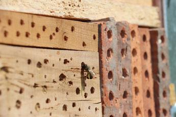 Gewöhnliche Löcherbiene an der Wildbienennisthilfe (Foto: B. Budig)