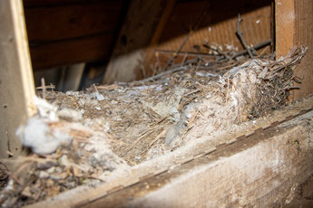 Nest im Schleiereulenkasten in der evangelischen Kirche (Foto: B. Budig)