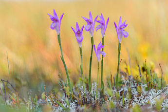 Dragon´s mouth (Arethusa bulbosa), Neufundland