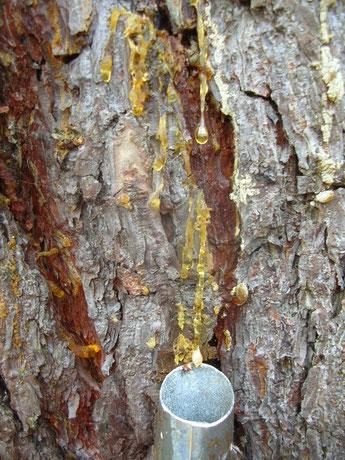 Harzernter Harzsammler Harz sammeln Räuchern Räucherstoffe selbst sammeln