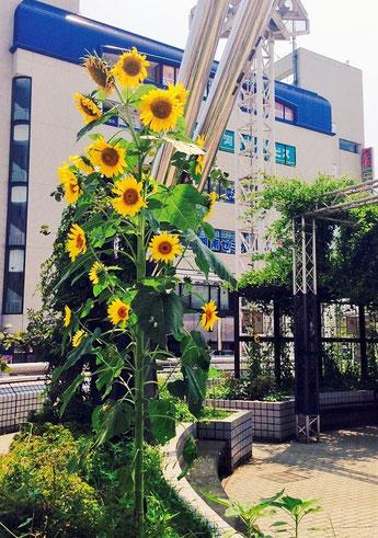 7月下旬、戸塚駅のひまわり