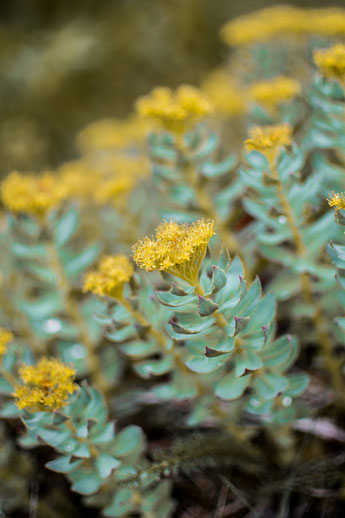 Rhodiola - eine von vielen hilfreichen Pflanzen bei Stress
