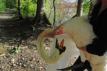 Schwan mit 5cm langem Angelhaken imHals und unterem Teil des Schnabels.