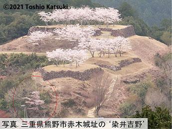 熊野市の赤木城址には'ソメイヨシノ'