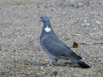Die Ringeltaube gehört zu den häufigsten Vögeln im Leipziger Stadtgebiet. Foto: NABU/Oscar Klose