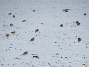 Feldlerchen im Schnee. Foto: Ernst F. Müller/naturgucker.de