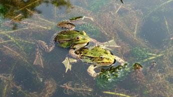 Ein naturnaher Gartenteich kann sich zum Paradies für Amphibien und andere Wasserlebewesen entwickeln. Damit ist er ein wichtiger Beitrag zum Biotop- und Artenschutz.