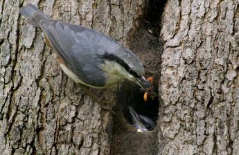 Kleiber mit Futter an einer Baumhöhle, in der seine Familie wohnt, bis der Baum gefällt wird. Foto: NABU/Kerstin Kleinke
