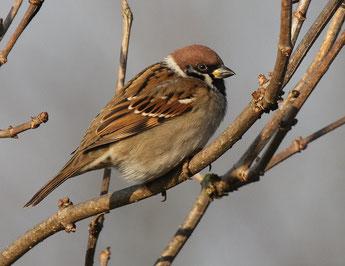 """Von Jahr zu Jahr werden bei der """"Stunde der Gartenvögel"""" mehr Feldsperlinge gemeldet. Foto: NABU/O. Klose"""