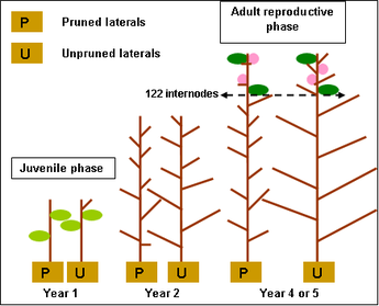 Fig. 2 Pruning trial: does pruning back lateral shoots shorten the juvenile phase?
