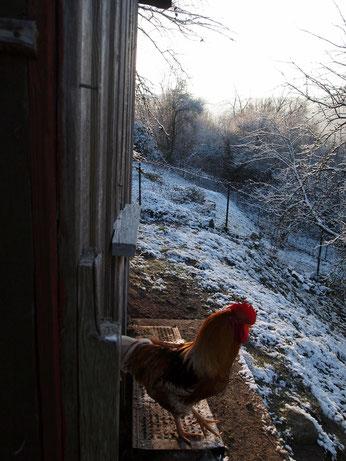 Obwohl es in letzter Zeit viel geschneit hat, finden unsere Hühner Schnee immer noch gruselig. ^^