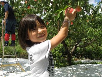 桃の収穫体験を楽しむ少女の写真