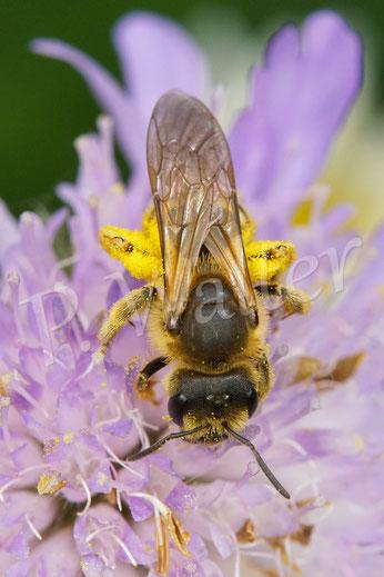 Bild: eine Gelbbindige Furchenbiene, Halictus scabiosae, Weibchen, an einer Acker-Witwenblume