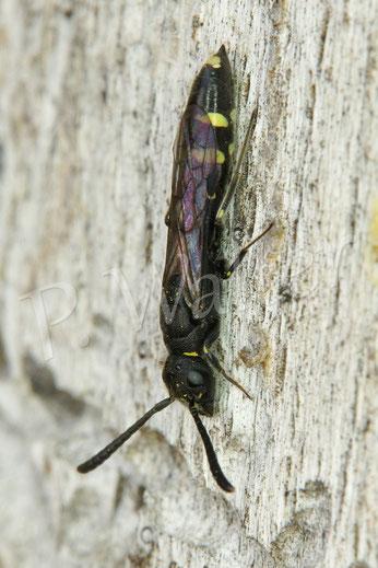 Bild: eine Keulhornwespe, Sapyga clavicornis, Parasit