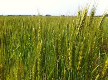 アップするのがすっかり遅くなってしまいましたが、六月の初め頃に、三本木の農家さんの小麦畑を見に行ってきました^^去年蒔いた小麦の粒が、もうこんなに大きくなっていましたよ!寒い冬を無事越して、もうすぐ収穫です。小麦が実るこの季節を、「麦秋」と呼びます。黄金色の小麦が穫れるまで、あと少し!