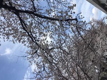昨年、三鷹通りから見上げた桜。今年もこの季節になろうとしています。