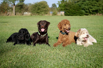 Cours collectif dressage chien - quatre chien couché dans l'herbe