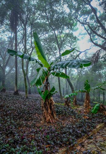 Paraguay oro-bananen