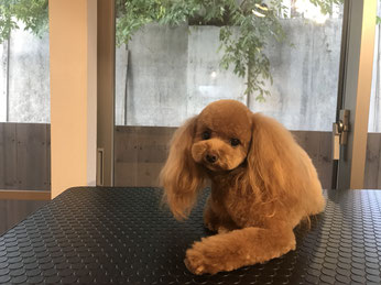 DOGSALONSEALY SEALY 表参道 南青山 外苑前 トリミングサロン トイプードル 隠れ家サロン 射手今日子