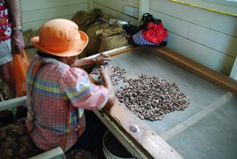 Kakaobohnen werden per Hand nach Qualität sortiert