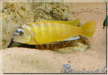 Le mâle Sauvage (origine Franchi Cichlid)