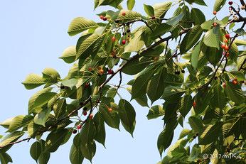ソメイヨシノ×オオシマザクラの木の実