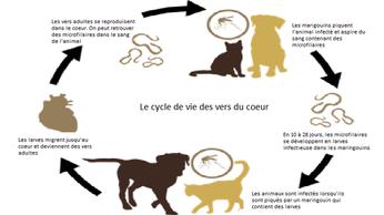 Schéma de la contraction des vers du coeur par coach canin 16 educateur canin angouleme