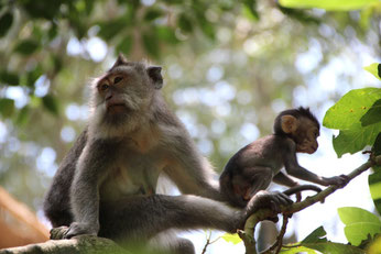 les singes de la Monkey Forest