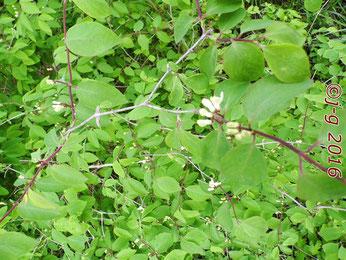 Wald-Geißblatt