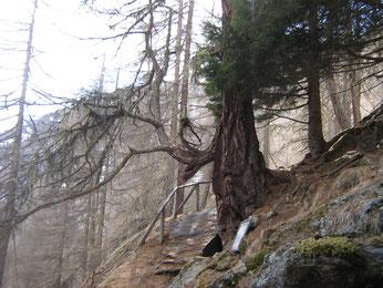 Scalinata dei Larici Monumentali i Val di Saent