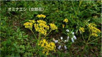 オミナエシ(女郎花)
