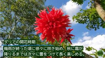 ダリアの開花時期