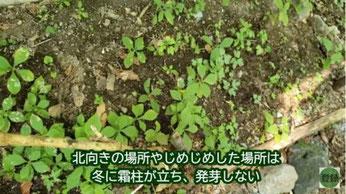 フシグロセンノウは日向でもよく育つ